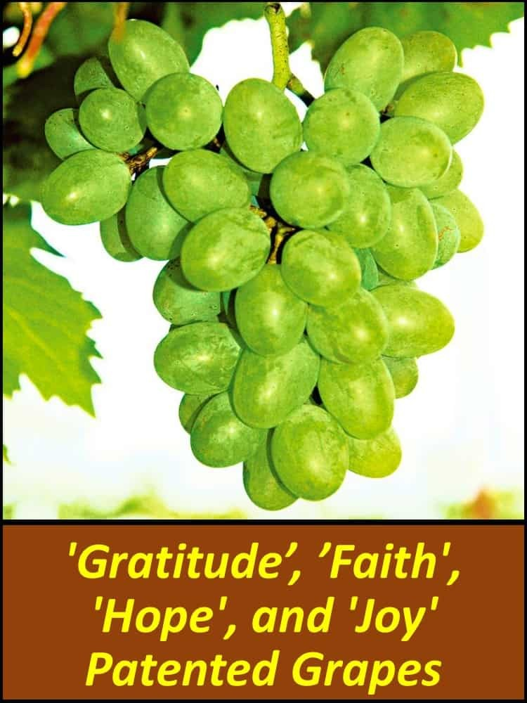 'Gratitude', 'Faith', 'Hope', and 'Joy' Patented Grapes